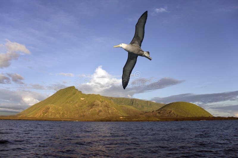 Albatros - Isabella Wyspa - Galapagos Wyspy obraz stock