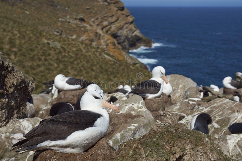 albatros Negro-cejudo y pingüinos meridionales de Rockhopper que jerarquizan junto foto de archivo