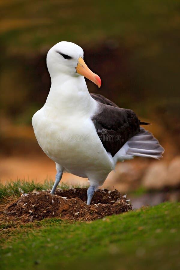 Albatros in nest Leuke baby van zwart-Browed albatros, Thalassarche-melanophris, die op kleinest zitten op Falkland Islands Wi stock fotografie