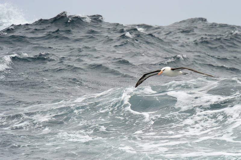 albatros Noir-browed photographie stock libre de droits