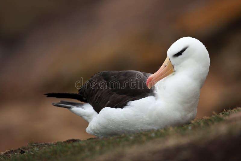 albatros Noir-browed, melanophris de Thalassarche, sur Falkland Islands photos libres de droits