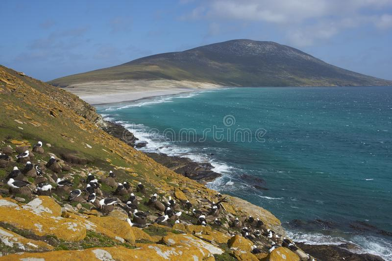 albatros Noir-browed sur l'île de Saunders dans Falkland Islands photo stock