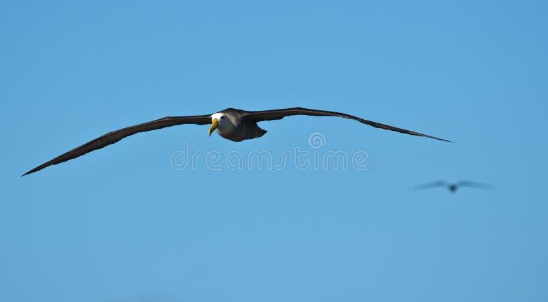 Albatros ondulé en vol à l'española sur Galapagos image libre de droits