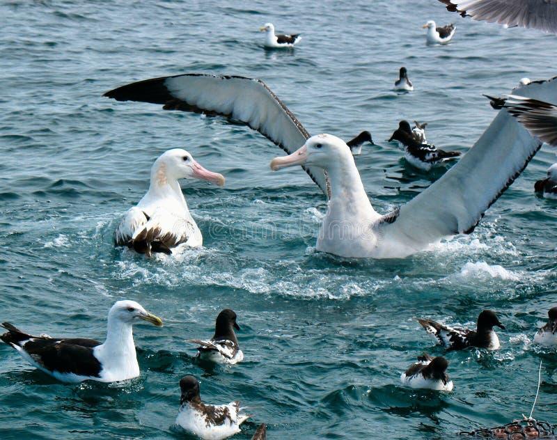 Albatros que vaga Feuding en el agua foto de archivo