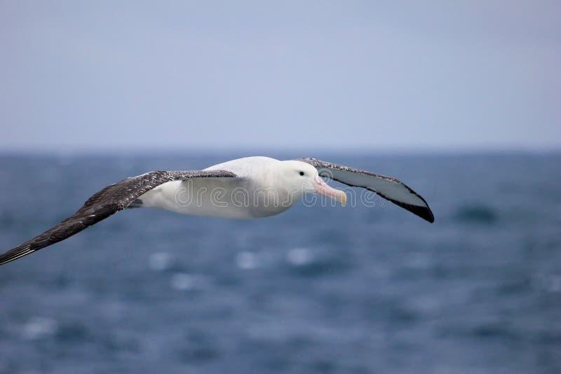 Albatros que vaga que vuela, albatros Nevado, albatros Blanco-con alas o Goonie, exulans del diomedea, la Antártida fotografía de archivo