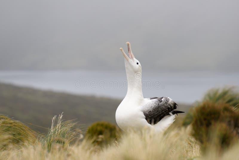Albatros real fotos de archivo