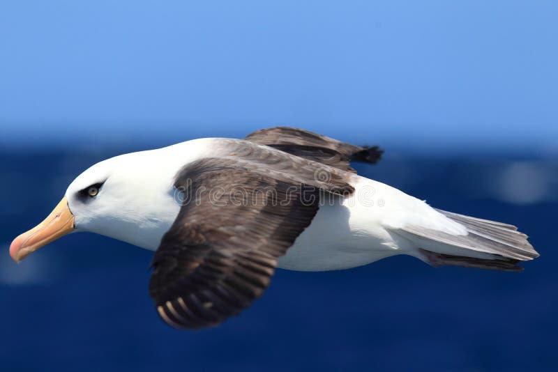 Albatros (Thalassarche-melanophris impavida) stockfotografie