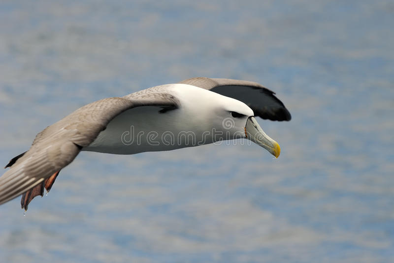 Albatros timide images stock