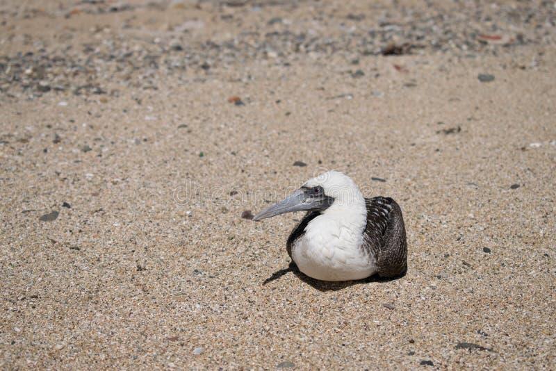 Albatrosa ptasi obsiadanie na wybrzeżu morze obrazy stock