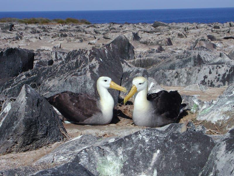 albatrospar royaltyfri foto