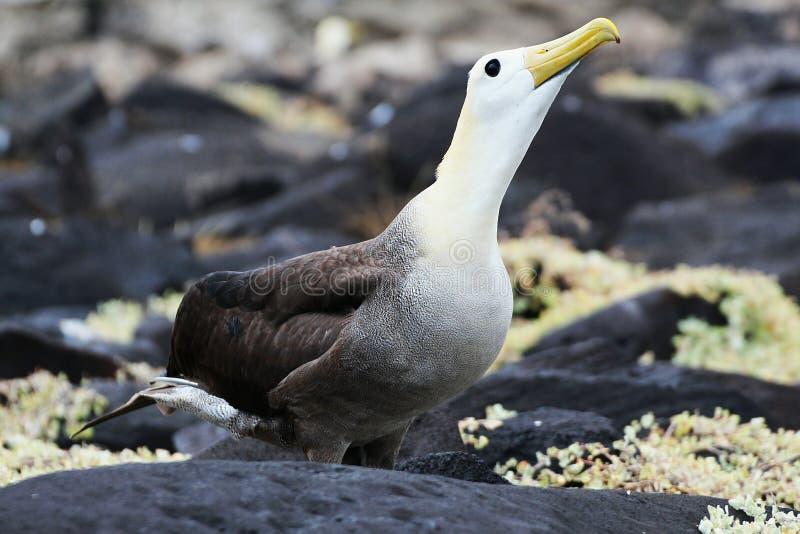 albatross stock foto