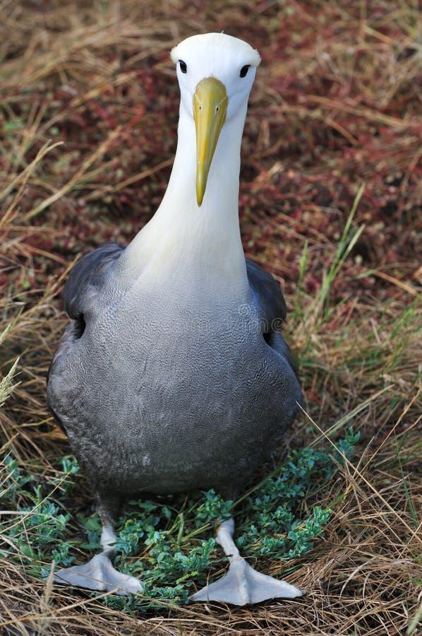 Albatross acenado fotografia de stock royalty free