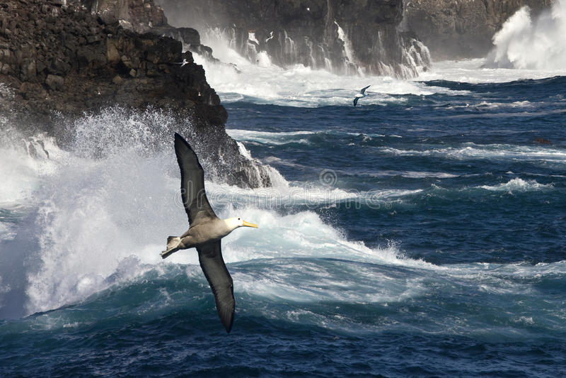 Albatross acenado - Espanola - consoles de Galápagos fotos de stock