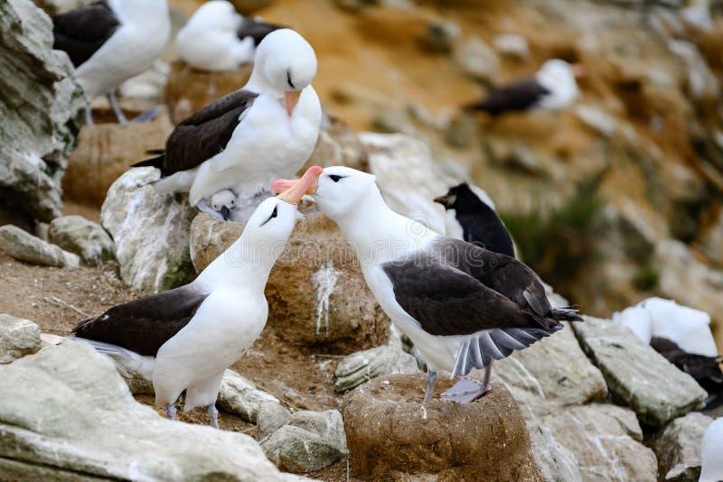Two albatrosses - family  Diomedeidae - courtship behavior on New Island, Falkland Islands. Albatross birds performing the courtship behaviour on Falkland royalty free stock photos