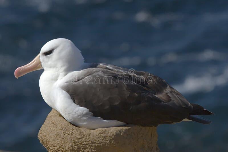 Albatross Black-browed (melanophris de Diomedea) imagem de stock