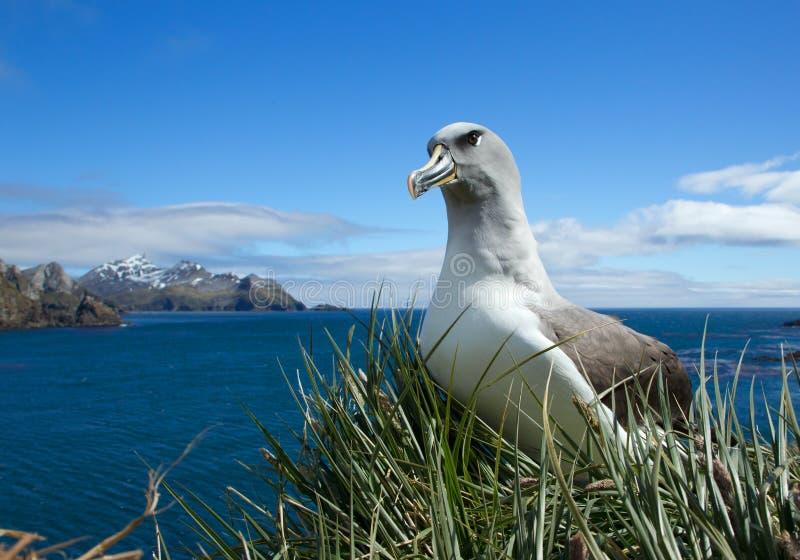 Albatross Black-browed no ninho imagem de stock