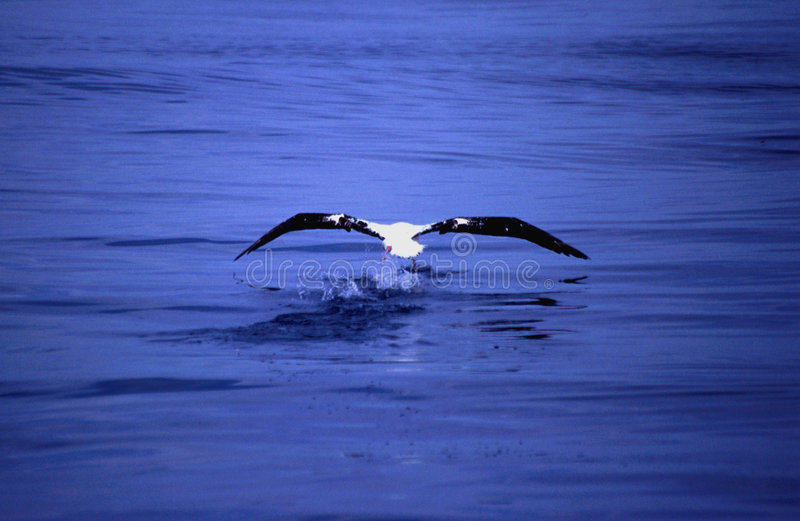 Albatross fishing from the sea. Albatross hunting for fish in the sea