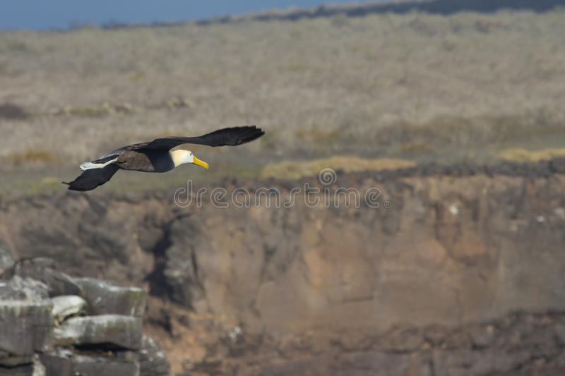 Albatross In Flight Stock Photos