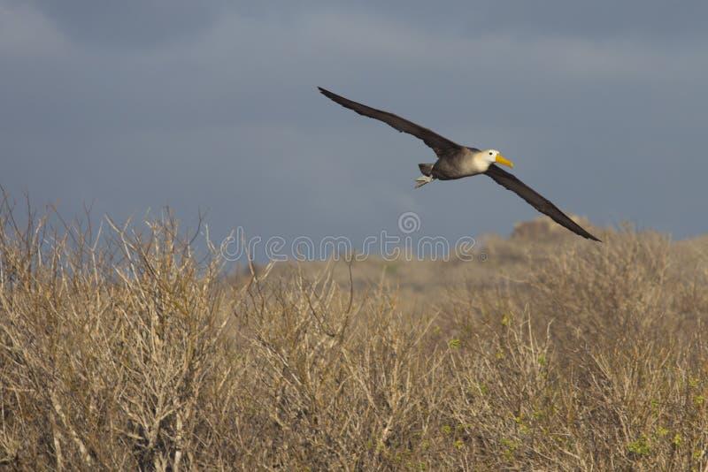 Albatross In Flight Stock Photos