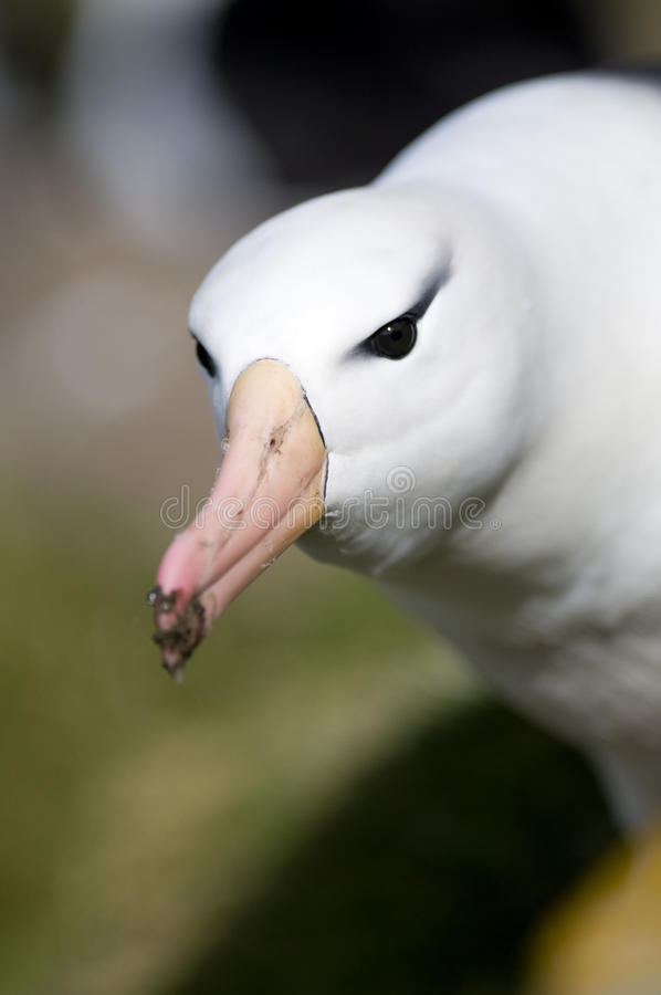 Albatross Glare. Stock Photo