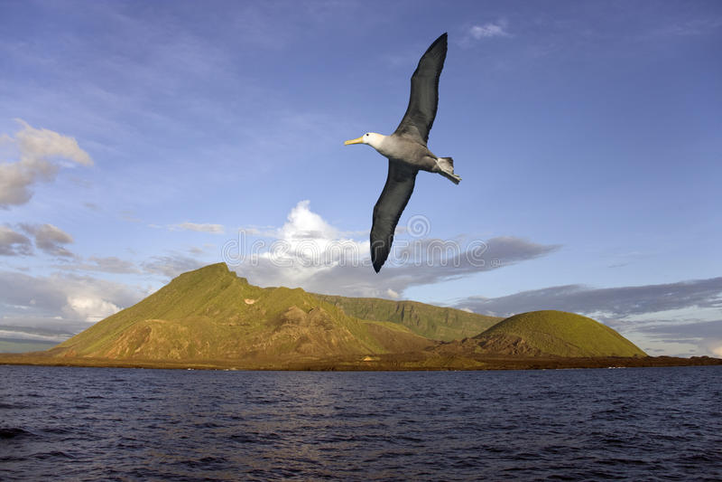 Download Albatross - Isabella Island - Galapagos Islands Stock Image - Image of bird, seabird: 20936341
