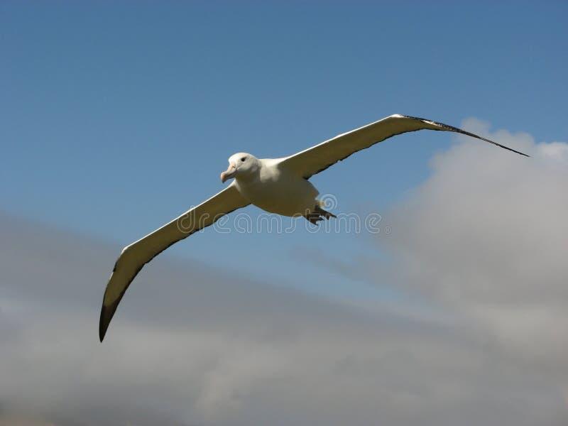 Albatross real com céu azul fotos de stock royalty free
