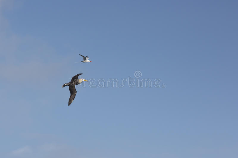Albatross and red-billed tropicbird royalty free stock photo