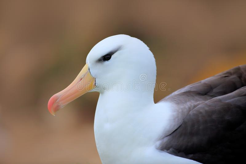 Albatross sitting on the cliff. Albatross from Falkland Island. Portrait of sea bird in the nature habitat. Beautiful sea bird Bla. Albatross sitting on the stock image