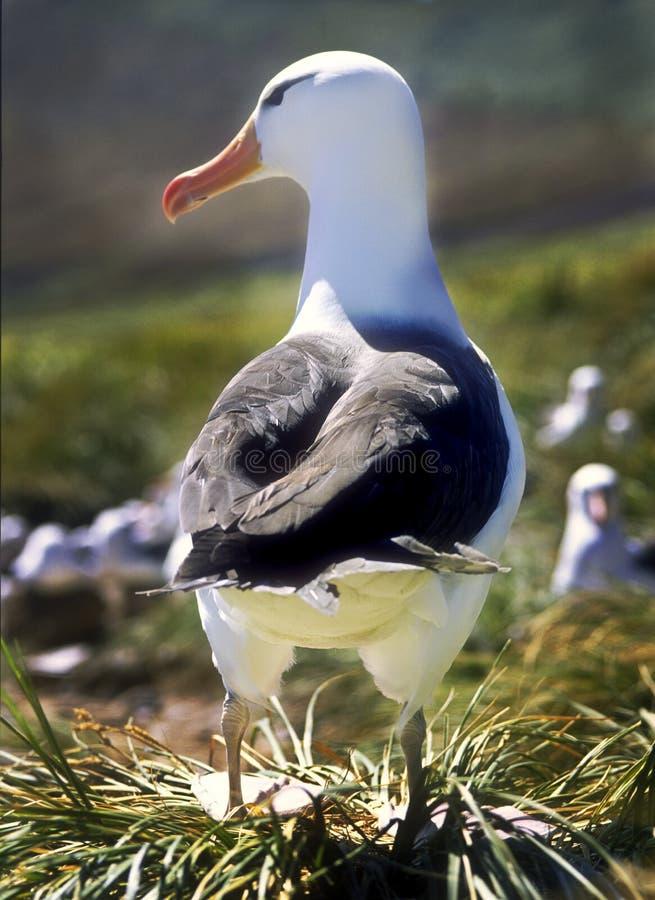 Albatross sobrancelhudo preto, Ilhas Falkland fotos de stock