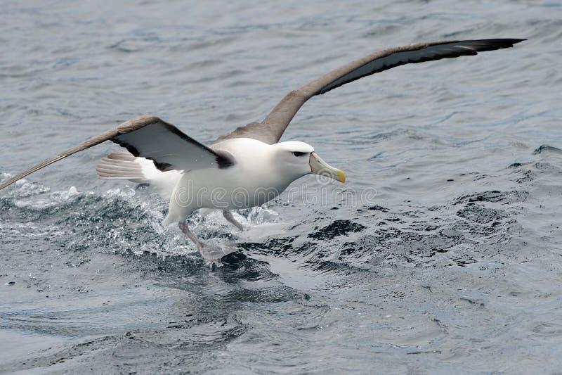 Albatross tímido foto de stock