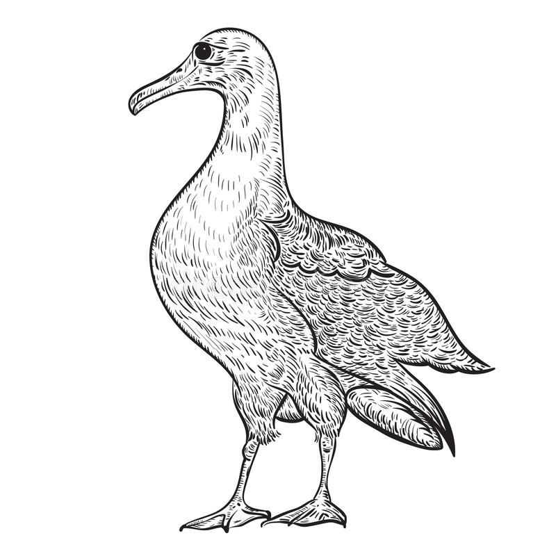 Albatross. Vintage vector illustration in sketch style vector illustration