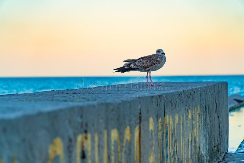 Albatroszeemeeuw op de overzeese pijler achtergrondaard, oceaan, pijler, toevlucht, overzees, stock foto's