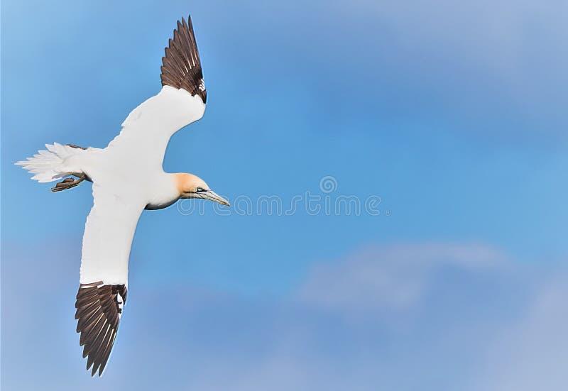 Albatroz em voo nos penhascos de Bempton, RSPB, Yorkshire do leste fotos de stock royalty free