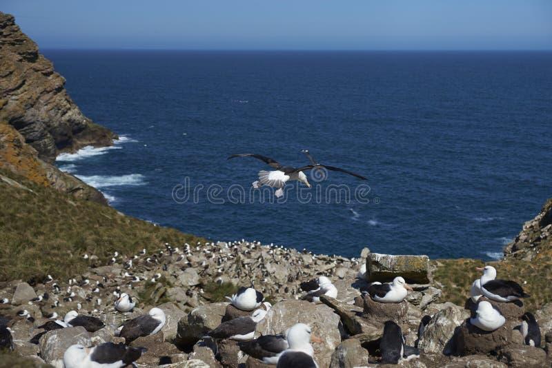 albatroz Preto-sobrancelhudo e pinguins do sul de Rockhopper que aninham-se junto fotografia de stock