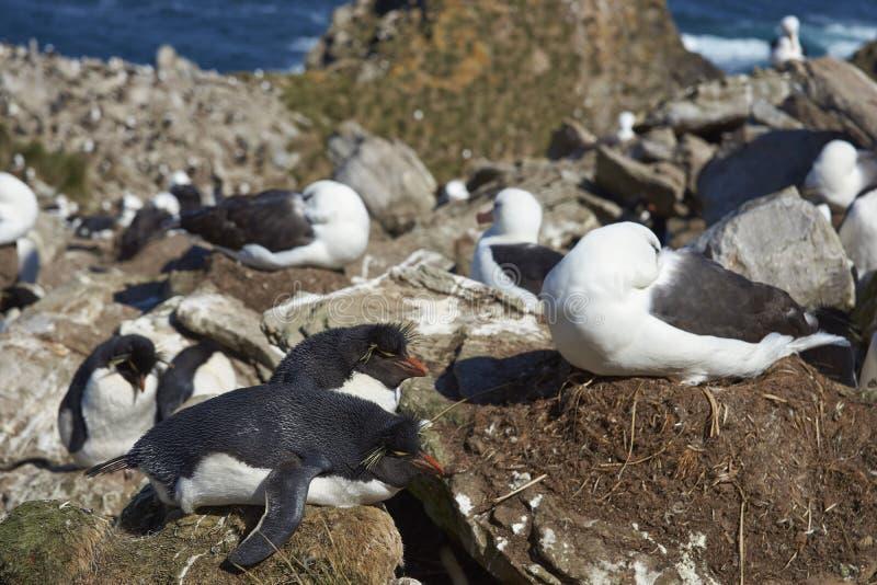 albatroz Preto-sobrancelhudo e pinguins do sul de Rockhopper que aninham-se junto foto de stock royalty free