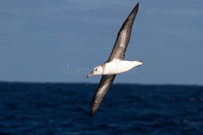 Albatroz preto-sobrancelhudo novo sobre as águas do Atlant sul foto de stock