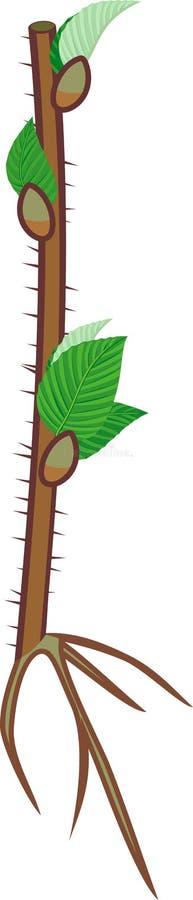 Alberello del lampone con le foglie verdi ed il sistema della radice royalty illustrazione gratis