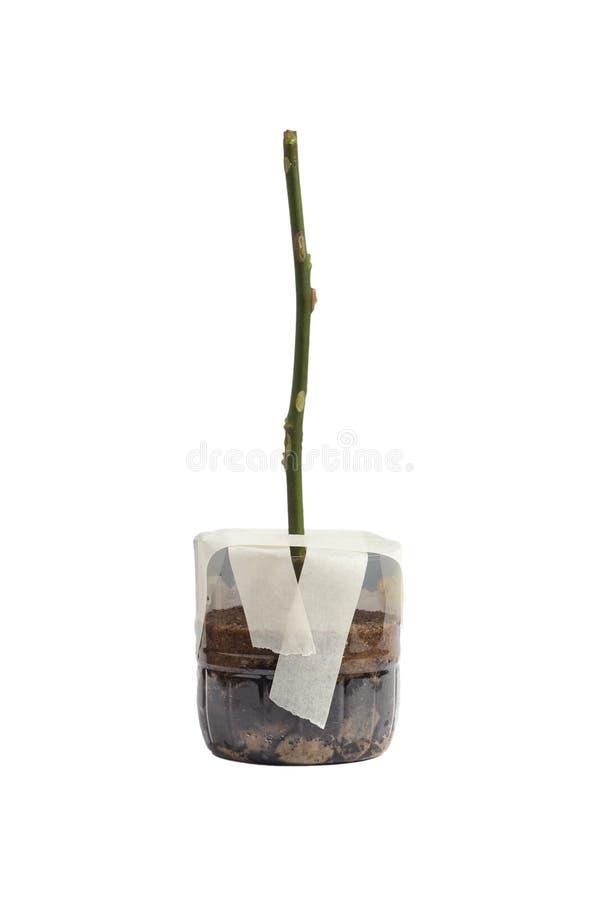 Alberello di Rosa in un vaso immagine stock libera da diritti
