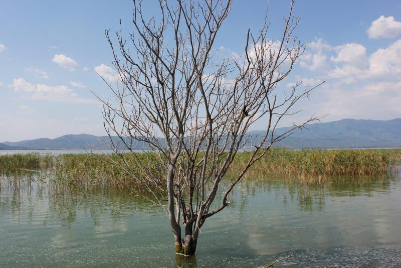 Alberi abbandonati sul lago di Doirani Kilkis Grecia immagine stock libera da diritti