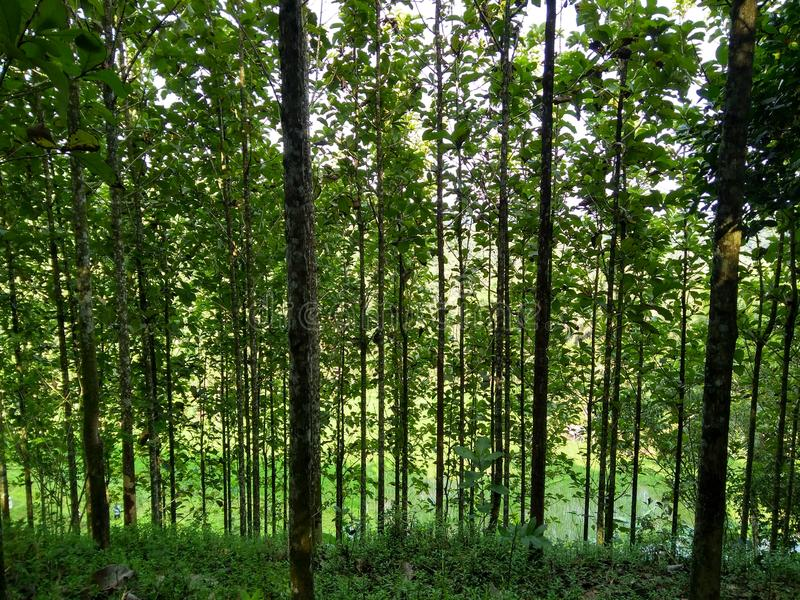 alberi allineati del tek piantati in terrazzi immagini stock
