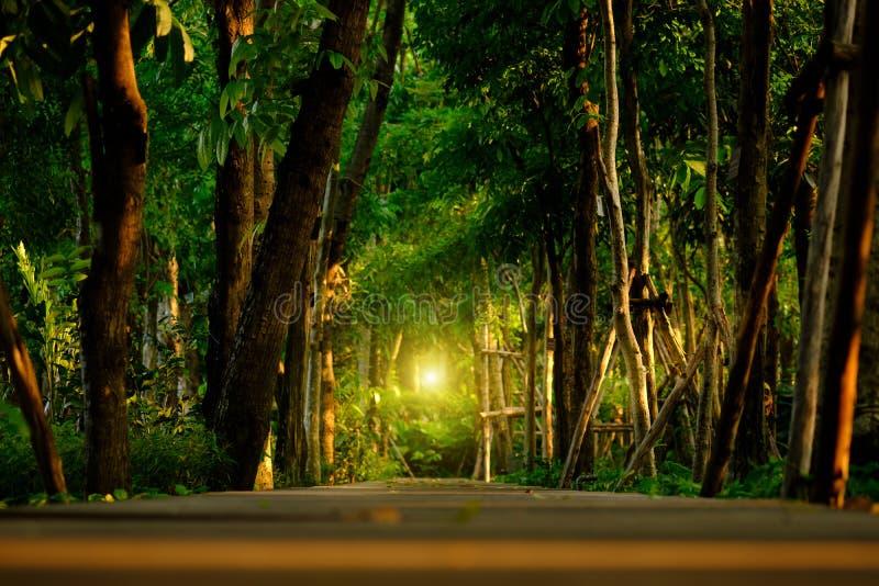 Alberi alti con le foglie verdi lungo il sentiero nel bosco con il corrido di legno fotografia stock