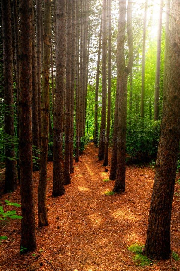 Alberi alti e percorso attraverso la foresta fotografie stock