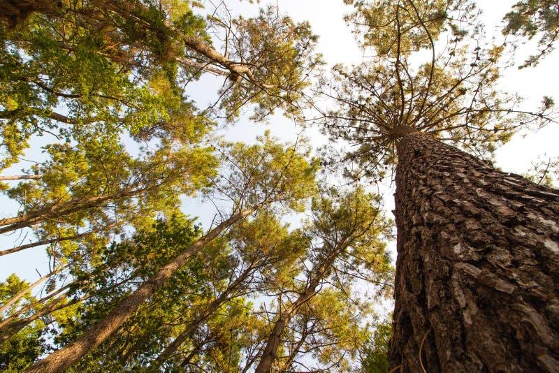 Alberi alti nella foresta pluviale fotografia stock libera da diritti