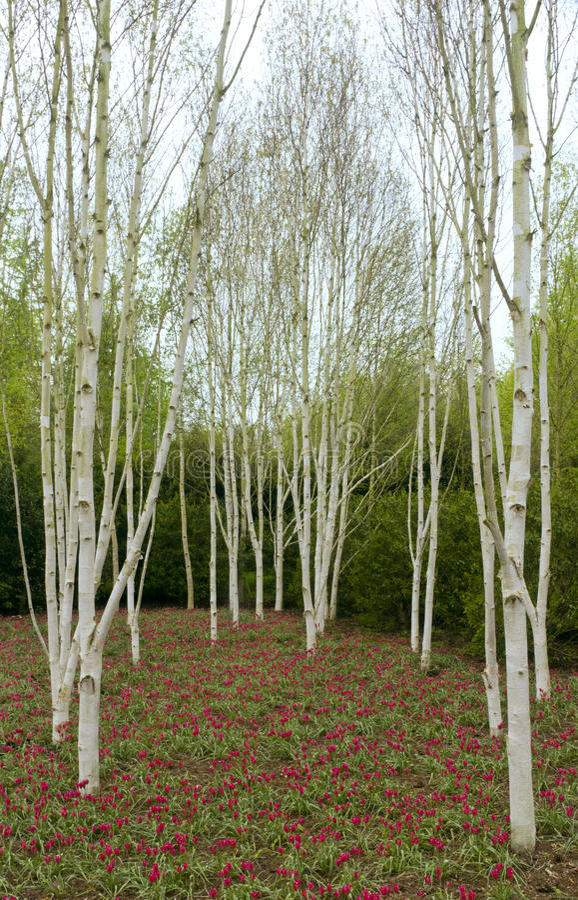 Alberi & tulipani di betulla fotografia stock libera da diritti