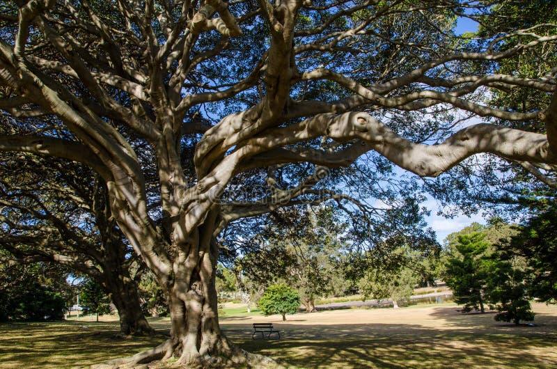 Alberi antichi con il suo banco a forma di ombrello distintivo al parco centennale, Sydney, Australia di parco e della corona immagini stock