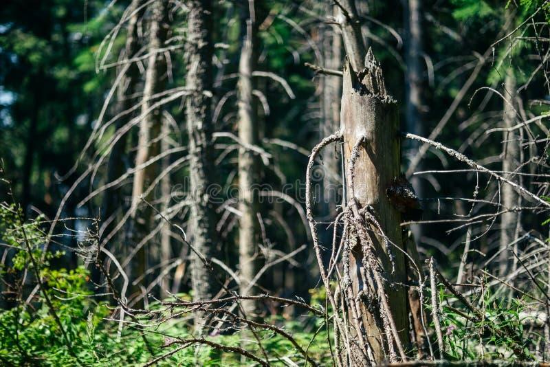 Alberi appassiti nella foresta il giorno soleggiato, primo piano fotografia stock