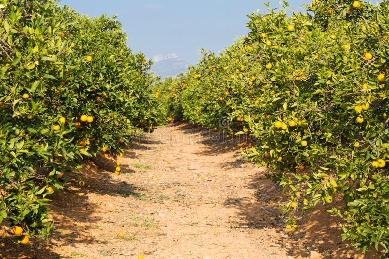 Alberi arancio di Valencia immagine stock