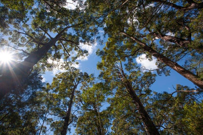 Alberi australiani alti in una foresta che raggiunge fino ad un cielo blu immagini stock