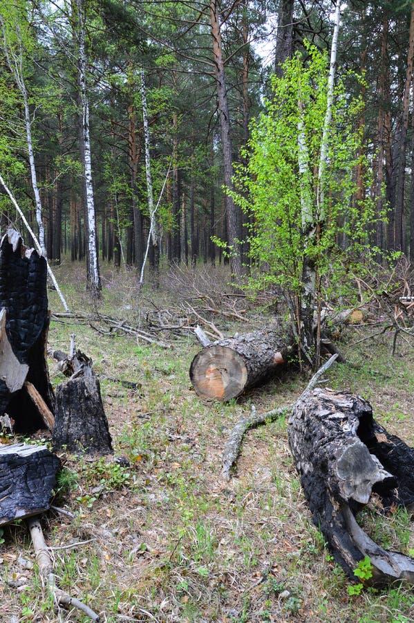 Alberi bruciati ed abbattuti nella cattiva gestione e nello spreco della foresta immagine stock libera da diritti
