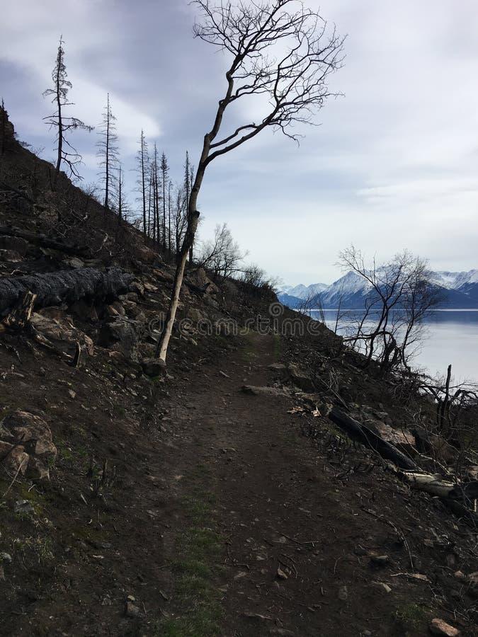 Alberi bruciati sulla traccia indiana Anchorage, Alaska immagine stock